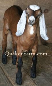 Quaker Farm Nubian dairy goat kid doe