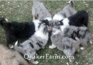 Tri color and blue merle rough Collie pups from Quaker Farm