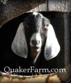 Nubian dairy goats are excellent milkers for the family homestead