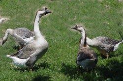 Quaker Hill Farm, Michigan, Muscovy Ducks, Brown Chinese Geese