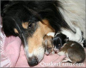 Quaker Farm Newborn Collie Pups