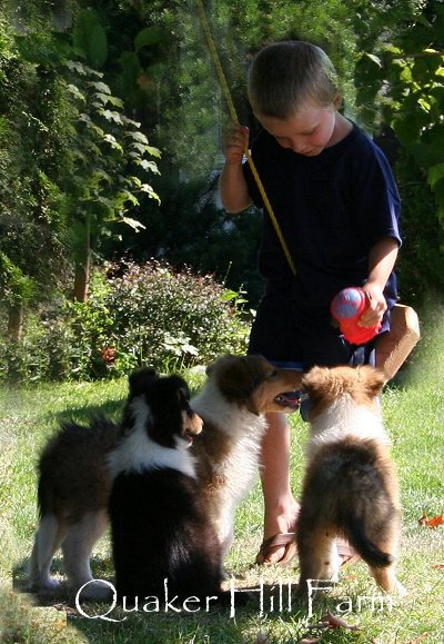 Collie puppies love to play at Quaker Farm