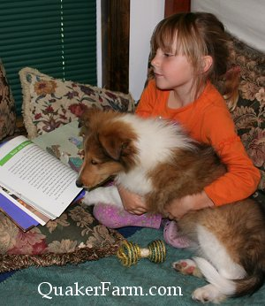A Quaker Farm Collie puppy learning to be a reading dog for children