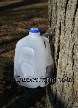 a milk jug works well to collect sap