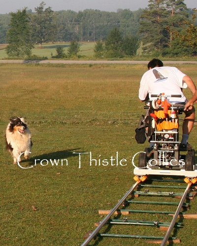 Rough Collie dog being filmed herding for Dogs 101